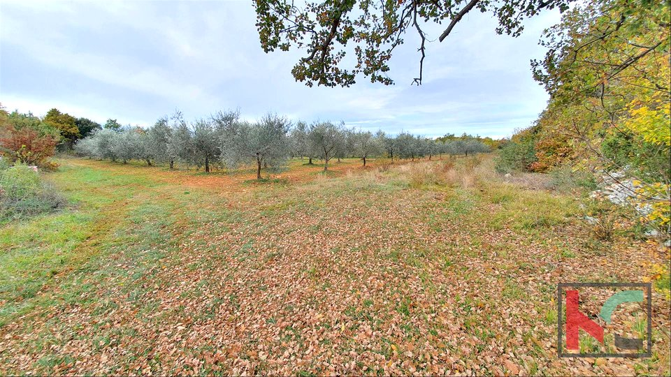 Istria - Bale, olive grove on 11,400m2