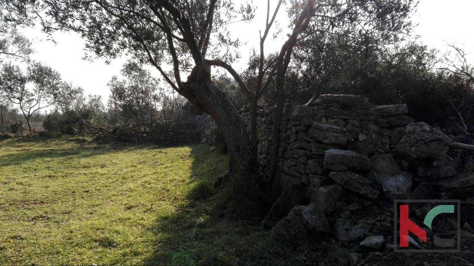 Barbariga , Batvači  maslinik  3701m2